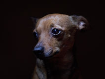 Portrait of beautiful toy terrier on a dark background. Stock Images