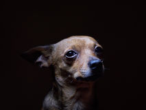 Portrait of beautiful toy terrier on a dark background. Stock Photo