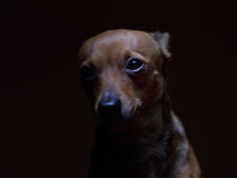 Portrait of beautiful toy terrier on a dark background. Stock Photos
