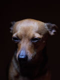 Portrait of beautiful toy terrier on a dark background. Royalty Free Stock Photos