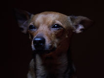 Portrait of beautiful toy terrier on a dark background. Royalty Free Stock Image