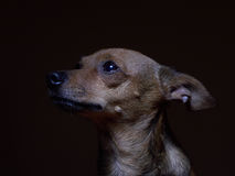 Portrait of beautiful toy terrier on a dark background. Stock Photography