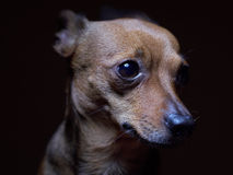 Portrait of beautiful toy terrier on a dark background. Royalty Free Stock Photo