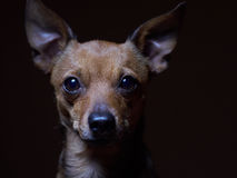 Portrait of beautiful toy terrier on a dark background. Royalty Free Stock Images
