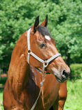 Portrait of  beautiful trakehner mare. Portrait of  nice mare    outdoor sunny day Royalty Free Stock Photos