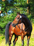Portrait of  beautiful trakehner stallion. Portrait of  nice stallion  outdoor sunny day Royalty Free Stock Images