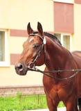 Portrait of  beautiful trakehner stallion. Portrait of  nice stallion  outdoor sunny day Royalty Free Stock Photography