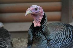 Portrait of a beautiful turkey. Turkey head stock images