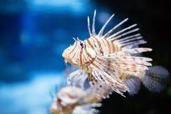 Portrait of beautiful venomous lion fish in aquarium Stock Image
