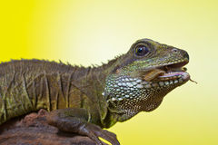 Portrait of beautiful water dragon lizard Royalty Free Stock Photo