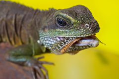 Portrait of beautiful water dragon lizard reptile eating an insect. Close-up portrait of beautiful water dragon lizard reptile eating an insect royalty free stock photo
