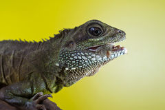 Portrait of beautiful water dragon lizard reptile eating an inse Royalty Free Stock Images