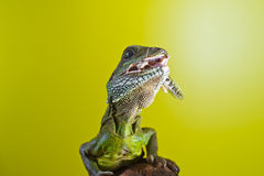 Portrait of beautiful water dragon lizard reptile sitting on a b. Close-up portrait of beautiful water dragon lizard reptile sitting on a branch on bright yellow stock photography