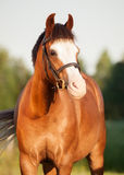 Portrait of beautiful welsh pony mare Stock Photography