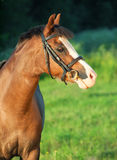Portrait of beautiful welsh pony mare Royalty Free Stock Images