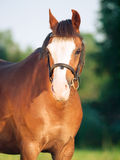 Portrait of beautiful welsh pony mare Royalty Free Stock Image