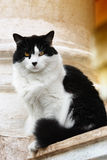 Portrait of a beautiful white black cat. Black white cat sitting on a street Stock Photos