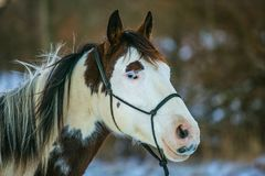 Portrait of beautiful white and brown paint horse stock photos