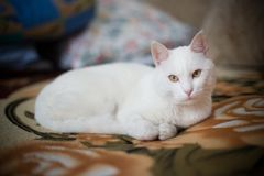 Beautiful white cat at the table. Portrait of beautiful white cat at the table Stock Images