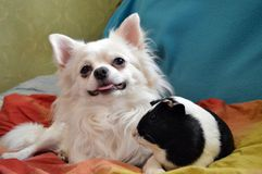 Portrait of a beautiful white chihuahua with guinea pig stock photos