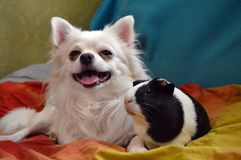 Portrait of a beautiful white chihuahua with guinea pig stock photo