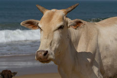 Portrait of a beautiful white cow Stock Photography