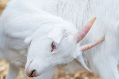 Portrait of a beautiful white goat Royalty Free Stock Photo