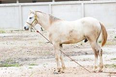Portrait of beautiful white horse Royalty Free Stock Photos