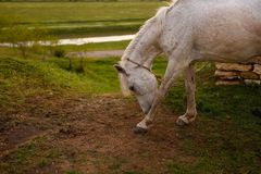 Portrait of a beautiful white horse, outside,  on a green landscape background. stock photo