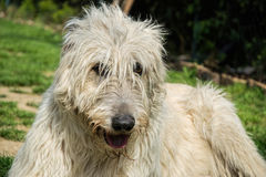 Portrait of beautiful white Irish wolfhound dog posing in the garden. Happy dog sitting on grass at spring time Royalty Free Stock Photography