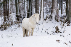Portrait of beautiful white pony  in the winter  mountain Stock Image