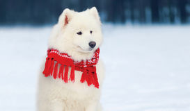 Portrait beautiful white Samoyed dog wearing a red scarf sitting on snow in winter royalty free stock image