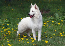 Portrait of  beautiful white suisse shepherd Royalty Free Stock Photography