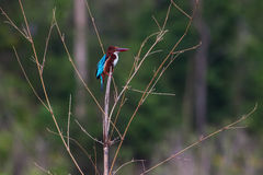 Portrait of beautiful white-throated kingfisher Stock Images