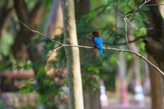 Portrait of beautiful white-throated kingfisher Royalty Free Stock Photo