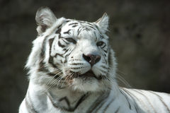 Portrait of a white tiger Stock Images