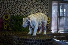 Portrait of a beautiful white tiger Stock Photos