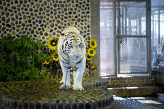 Portrait of a beautiful white tiger Royalty Free Stock Images
