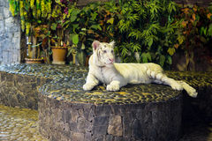 Portrait of a beautiful white tiger Royalty Free Stock Photography