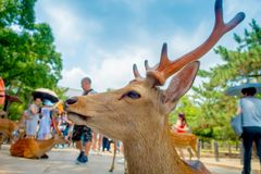 Portrait of a beautiful wild deer in Nara, Japan. Nara is a major tourism destination in Japan - former capita city and. Currently UNESCO World Heritage Site stock photography
