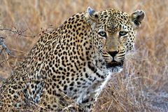 Portrait of a leopard Panthera pardus, Kruger National Park, South Africa Stock Image