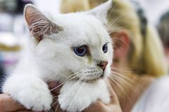 Portrait of a beautiful withe kitten - selective focus Royalty Free Stock Images