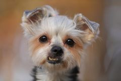 Portrait of a beautiful Yorkshire terrier dog stock photography