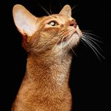 Portrait of beautiful young abyssinian cat. Close up of red cat. Isolated on black background royalty free stock photo