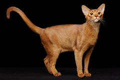 Portrait of beautiful young abyssinian cat Stock Photos