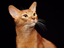 Portrait of beautiful young abyssinian cat Royalty Free Stock Image
