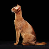 Portrait of beautiful young abyssinian cat Stock Image