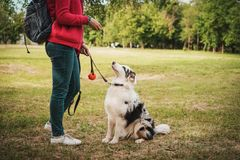 Portrait of a beautiful young Australian Shepherd Blue Merle looking at her master and waiting for the ball game.  royalty free stock photo