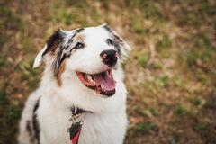 Portrait of a beautiful young Australian Shepherd Blue Merle looking at her owner and smiling.  royalty free stock photo