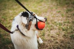 Portrait of a beautiful young Australian Shepherd Blue Merle plays and gnaws ball for training.  stock image